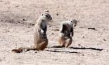 RODENT - SQUIRREL - SOUTHERN GROUND SQUIRREL - ETOSHA NATIONAL PARK NAMIBIA (17).JPG