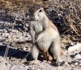 RODENT - SQUIRREL - SOUTHERN GROUND SQUIRREL - ETOSHA NATIONAL PARK NAMIBIA (29).JPG