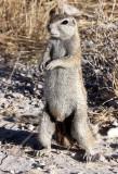 RODENT - SQUIRREL - SOUTHERN GROUND SQUIRREL - ETOSHA NATIONAL PARK NAMIBIA (30).JPG