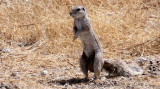 RODENT - SQUIRREL - SOUTHERN GROUND SQUIRREL - ETOSHA NATIONAL PARK NAMIBIA (7).JPG