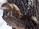 RODENT - SQUIRREL - TREE SQUIRREL - PARAXERUS CEPAPI - ETOSHA NATIONAL PARK NAMIBIA (2).JPG