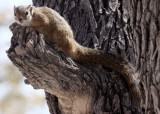 RODENT - SQUIRREL - TREE SQUIRREL - PARAXERUS CEPAPI - ETOSHA NATIONAL PARK NAMIBIA (8).JPG