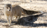 MUSTELID - MONGOOSE - YELLOW MONGOOSE - KALAHARI GEMSBOK NP (16).JPG