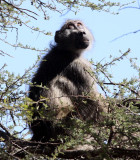 PRIMATE - BABOON - CHACMA BABOON - KRUGER NATIONAL PARK SOUTH AFRICA (14).JPG