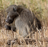 PRIMATE - BABOON - CHACMA BABOON - KRUGER NATIONAL PARK SOUTH AFRICA (19).JPG