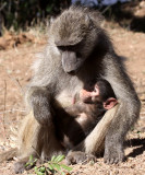 PRIMATE - BABOON - CHACMA BABOON - KRUGER NATIONAL PARK SOUTH AFRICA.JPG
