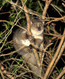 PRIMATE - GALAGO - GREATER GALAGO OR BUSHBABY - SAINT LUCIA WETLANDS RESERVE - SOUTH AFRICA (15).JPG
