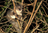 PRIMATE - GALAGO - GREATER GALAGO OR BUSHBABY - SAINT LUCIA WETLANDS RESERVE - SOUTH AFRICA (16).JPG