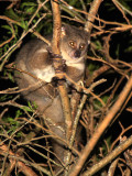 PRIMATE - GALAGO - GREATER GALAGO OR BUSHBABY - SAINT LUCIA WETLANDS RESERVE - SOUTH AFRICA (25).JPG