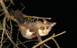 PRIMATE - GALAGO - GREATER GALAGO OR BUSHBABY - SAINT LUCIA WETLANDS RESERVE - SOUTH AFRICA (32).JPG