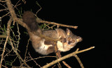 PRIMATE - GALAGO - GREATER GALAGO OR BUSHBABY - SAINT LUCIA WETLANDS RESERVE - SOUTH AFRICA (36).JPG