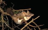 PRIMATE - GALAGO - GREATER GALAGO OR BUSHBABY - SAINT LUCIA WETLANDS RESERVE - SOUTH AFRICA (41).JPG
