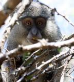 PRIMATE - MONKEY - SAMANGO OR SYKES'S MONKEY - CERCOPITHECUS ALBOGULARIS - IMFOLOZI NATIONAL PARK SOUTH AFRICA (13).JPG