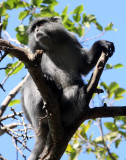 PRIMATE - MONKEY - SAMANGO OR SYKES'S MONKEY - CERCOPITHECUS ALBOGULARIS - IMFOLOZI NATIONAL PARK SOUTH AFRICA (25).JPG