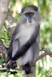 PRIMATE - MONKEY - SAMANGO OR SYKES'S MONKEY - SAINT LUCIA WETLANDS RESERVE - SOUTH AFRICA (4).JPG
