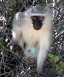 PRIMATE - MONKEY - VERVET MONKEY - AUGRABIES FALLS NP SOUTH AFRICA (3).JPG