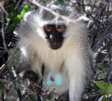 PRIMATE - MONKEY - VERVET MONKEY - AUGRABIES FALLS NP SOUTH AFRICA.JPG