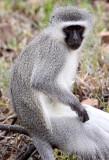 PRIMATE - MONKEY - VERVET MONKEY - MOUNTAIN ZEBRA  NATIONAL PARK SOUTH AFRICA (3).JPG