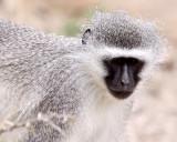 PRIMATE - MONKEY - VERVET MONKEY - MOUNTAIN ZEBRA  NATIONAL PARK SOUTH AFRICA.JPG