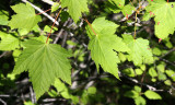 ACERACEAE - ACER GLABRUM - DOUGLAS OR ROCKY MOUNTAIN MAPLE - SPRUCE RAILROAD TRAIL - ONP.JPG