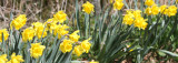 AMARYLLIDACEAE - NARCISSIS SPECIES - DAFFODILS - LAKE FARM TRAILS (4).JPG