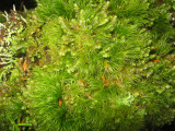 BRYOPHYTA - HOOKERIA LUCENS - CLEAR MOSS - WITH HEPATOPHYTA SPECIES AND SOME OTHER MOSS (2).jpg