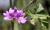 GERANIACEAE - GERANIUM SPECIES - SEQUIM WA.JPG