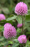 LEGUMINOSEAE - TRIFOLIUM SPECIES  - CLOVER SPECIES - LAKE FARM TRAILS WA.JPG