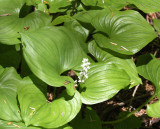 LILIACEAE - MAIANTHEMUM DILATATUM - FALSE LILY-OF-THE-VALLEY - BEACH FOUR ONP.JPG