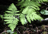 PTERIDOPHYTA - GYMNOCARPIUM DRYOPTERIS - OAK FERN - HEART OF THE FOREST TRAIL - ONP.JPG