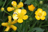 RANUNCULACEAE - RANUNCULUS OCCIDENTALIS - WESTERN BUTTERCUP - LAKE FARM TRAILS (4).JPG