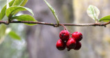 RHAMNACEAE - RHAMNUS PURSHIANA - CASCARA - LAKE FARM TRAILS .JPG