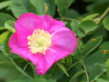 ROSACEAE - ROSA NUTKANA - ROSE SPECIES - NOOTKA WILD ROSE - ELWHA RIVER MOUTH TRAILS.JPG