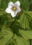 ROSACEAE - RUBUS PARVIFLORUS - THIMBLEBERRY - WEST END OF OP - HOH RIVER AREA (2).JPG