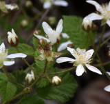 ROSACEAE - RUBUS URSINUS - PACIFIC OR TRAILING BLACKBERRY - DUNGENESS RIVER WATERSHED - RAILROAD PARK SEQUIM.JPG