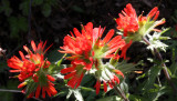 SCROPHULARIACEAE - CASTILLEJA HISPIDA - HARSH PAINTBRUSH - SPRUCE RAILROAD TRAIL - ONP.JPG