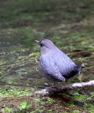 BIRD - AMERICAN DIPPER - HOH RAINFOREST WA (9).JPG