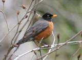 BIRD - AMERICAN ROBIN - LAKE FARM WA (3).JPG