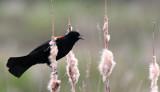 BIRD - BLACKBIRD - RED-WINGED BLACKBIRD - JAMESTOWN WA (8).JPG