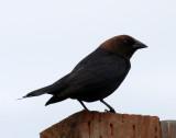 BIRD - BROWN-HEADED COWBIRD - DUNGENESS SPIT WA (2).JPG