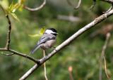 BIRD - CHICKADEE - BLACK-CAPPED CHICKADEE - DUNGENESS RIVER WA (8).JPG