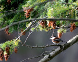 BIRD - CHICKADEE - CHESTNUT-BACKED - LAKE FARM H.jpg