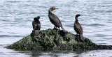 BIRD - CORMORANT - DOUBLE-CRESTED WITH PELAGIC CORMORANT - LAKE FARM BEACH WA (14).JPG