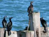 BIRD - CORMORANT - PELAGIC - OP (3).jpg