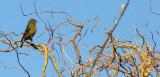 BIRD - CROSSBILL - RED CROSSBILL - LAKE FARM WOODS WA (11).JPG