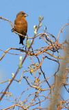 BIRD - CROSSBILL - RED CROSSBILL - LAKE FARM WOODS WA (2).JPG