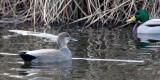 BIRD - DUCK - GADWALL - THREE CRABS WETLANDS WA (3).JPG