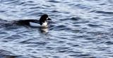 BIRD - DUCK - GOLDENEYE - BARROW'S GOLDENEYE - PA HARBOR WA (23).JPG