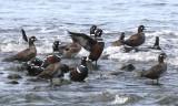 BIRD - DUCK - HARLEQUIN DUCK - MORSE CREEK MOUTH WA (16).JPG