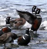 BIRD - DUCK - HARLEQUIN DUCK - MORSE CREEK MOUTH WA (17).jpg